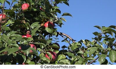 Branches full of red ripe apples on background of blue sky....