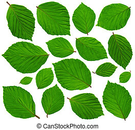 BeechLeaves - Very large Beech leaves in spring on white...