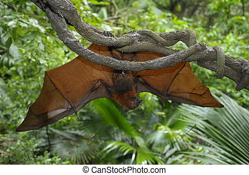 The flying fox Pteropus vampyrus - The red flying fox hanged...