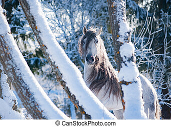 andalusian white horse on frozen winter background