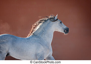 white andalusian horse near red wall