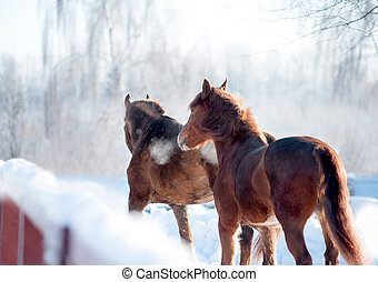 two chestnut horses in winter paddock