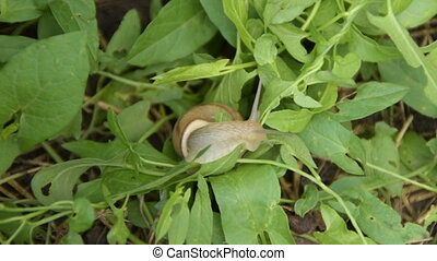 Snail crawling on the grass, accelerated footage