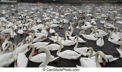 Lot of swans and ducks in the river Vltava, near the Charles...