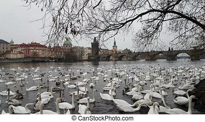 Lot of swans and ducks in the river Vltava, with a view of...