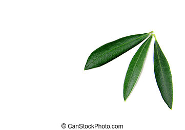 olive tree leaves - some olive tree leaves isolated on a...