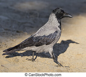 Hooded crow walking on the ground, corvus cornix