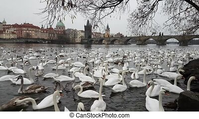 Lot of swans and ducks in the river Vltava