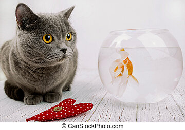 Red cloth heart lies before grey British Shorthair and...