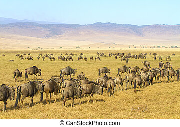 Herds of wildebeests walking in Ngorongoro - Wildebeest...