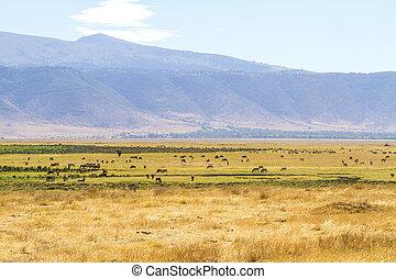 Herds of wild animals grazing in Ngorongoro - Wild animals...