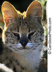 The serval- Leptailurus serval of Felis serval - The serval...