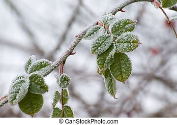 frost on the leaves - The leaves of frozen raspberries with...