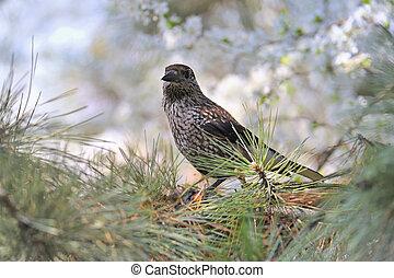 Fieldfare (Turdus pilaris) on tree brunch - Fieldfare...