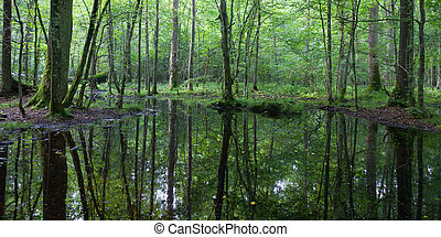 Summertime linden-oak-hornbeam stand with water-hole under...