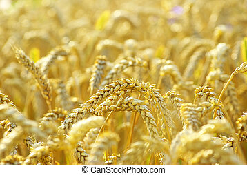 wheat - grain ready for harvest growing in a farm field