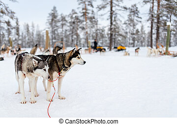 Husky safari - Sledding with husky dogs in Lapland Finland