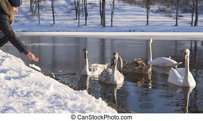 Woman Seeds Beautiful Swan Birds Family at Winter Lake
