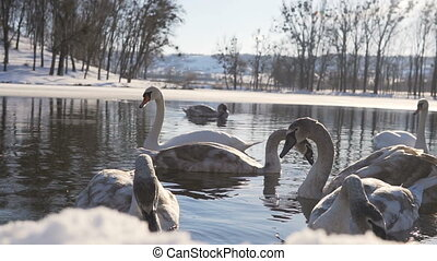 Beautiful Swan Birds Family at Winter Lake