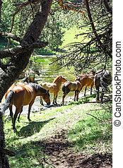 Wild horses in Aran valley in Pyrenees, Spain - Wild horses...