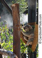 Funny koala at the zoo