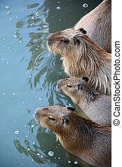 Kapibara family at the lake