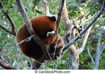 Cute red panda at the tree