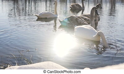 Beautiful Swan Birds Family at Winter Lake - Sunny day shot...