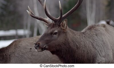 deer eat in the winter forest and looks around - reindeer...
