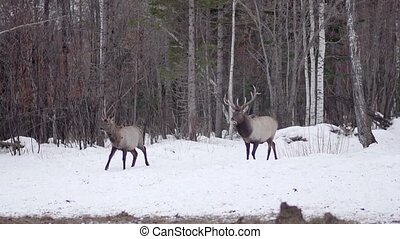 deers out of the snow woods