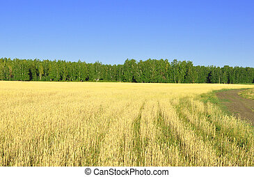 landscape with wheat field