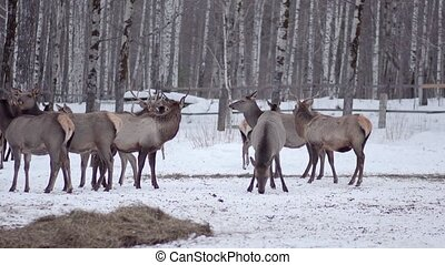pack of deer in the wild forest HD