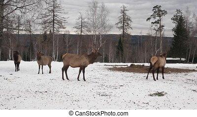 deer walking in winter forest HD