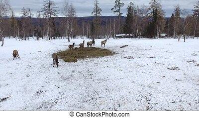 deer in Siberia aerial shot - reindeer in Siberia shooting...
