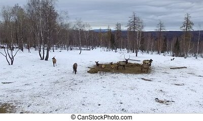 deer in winter, aerial shot