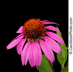 Coneflower, Echinacea - Purple coneflower, Echinacea, on a...