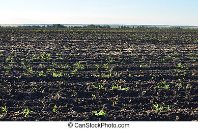 fertile, plowed soil of an agricultural field against blue...