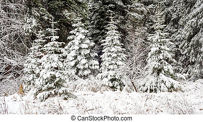 Prefect Christmas trees in nature with snow - Little...