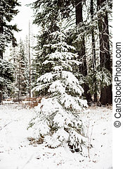 Natural Christmas tree with snow - Prefect Christmas tree in...