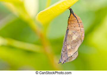 butterfly chrysalis of nymphalidae hanging on plant leaf