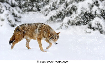 Wolf winter in nature - Wild wolf in nature. Winter time