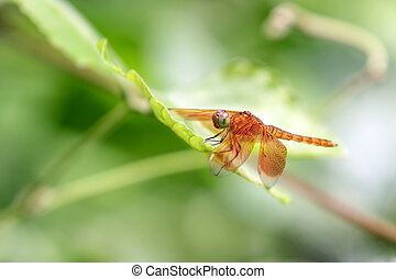 dragonfly - beautiful tropical dragonfly on leaf, sumatra,...