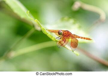 dragonfly - beautiful tropical dragonfly on leaf, sumatra,...