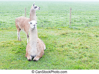 Llamas - Two llamas standing on a green land.