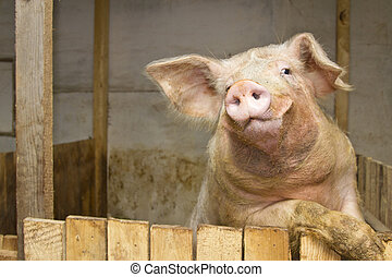 pig standing up and staring at the camera inside the piggery