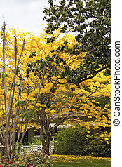 Florida Home With Tree in Bloom - Yellow Tabebula tree in...