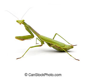 Praying Mantis isolated on a white background.