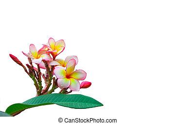 Plumeria acutifolia,spa flowers - Frangipani or pagoda...