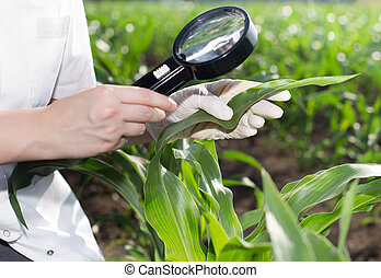 Agronomist with magnifier in corn field - Close up of young...