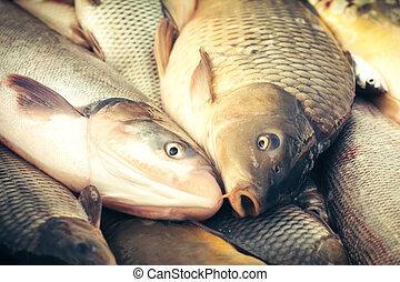 Carp fish - harvesting pond
